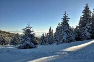świerki w śniegu